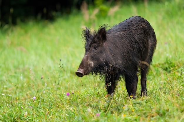 Unbekannter wildschwein, sus scrofa, auf heufeld in der wildnis, das mit grünem verschwommenem gras beiseite schaut. verdächtiges säugetier, das im gras mit kopienraum steht. haariger allesfresser in der natur von vorne