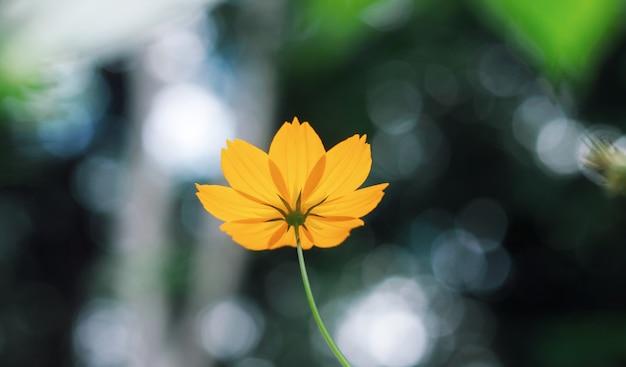 Undeutliche orange kosmosblume mit bokeh licht