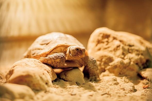 Unechte karettschildkröte, die zum meer kriecht