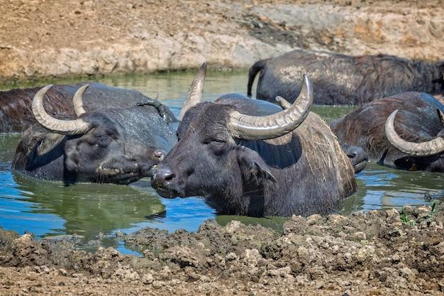 Ungarische wasserbüffel, die im wasser ruhen