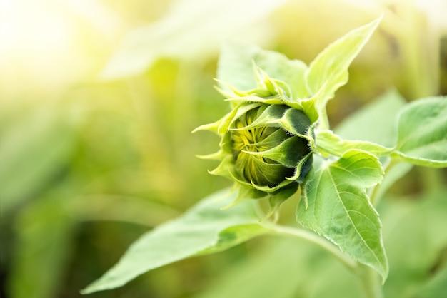Ungeöffnete sonnenblumen-blütenstand-nahaufnahme auf unscharfem landwirtschaftsfeldhintergrund