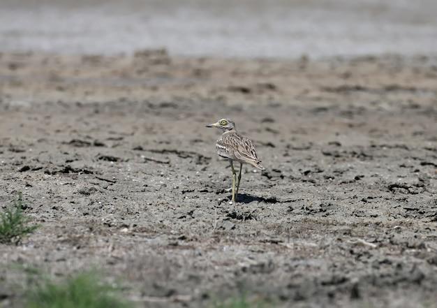 Ungewöhnliche fotos eines ungewöhnlichen eurasischen brachvogels.
