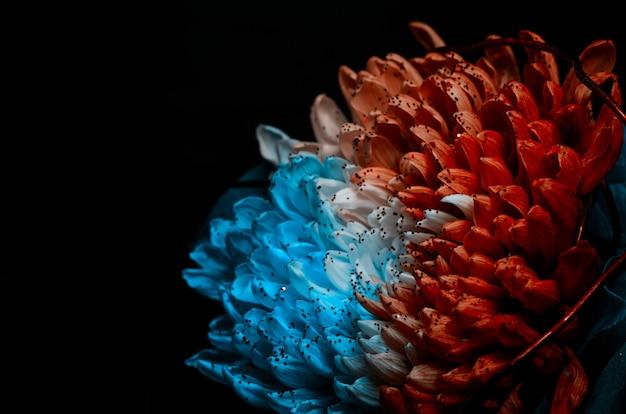 Ungewöhnliche rote und blaue dahlie.