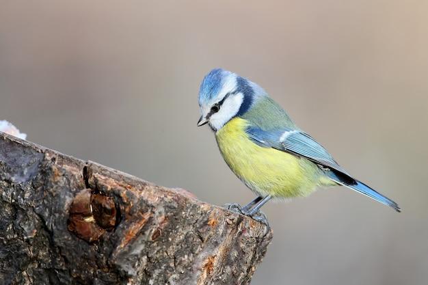 Ungewöhnliches extra nahes porträt der blaumeise im warmen morgenlicht. die erkennungszeichen des vogels und die struktur der federn sind deutlich sichtbar.