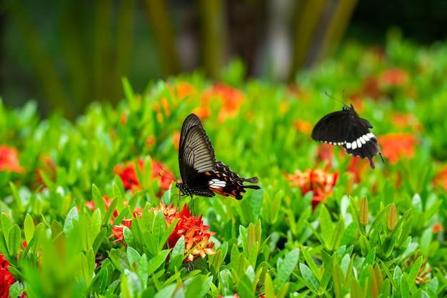 Unglaublich schöner tag tropischer schmetterling papilio maackii bestäubt blumen. schwarz-weißer schmetterling trinkt nektar von blumen. farben und schönheit der natur.