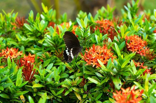 Unglaublich schöner tag tropischer schmetterling papilio maackii bestäubt blumen. schwarz-weißer schmetterling trinkt nektar von blumen. farben und schönheit der natur