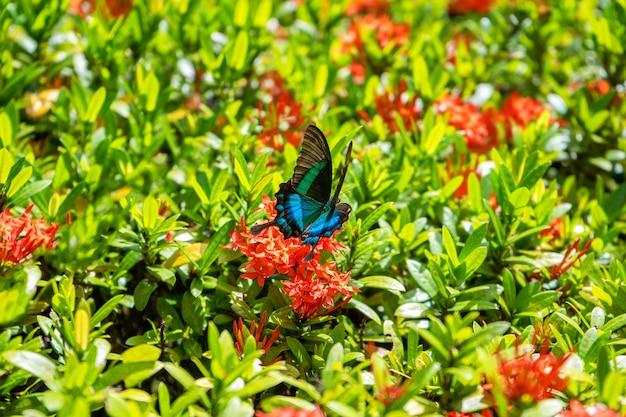 Unglaublich schöner tag tropischer schmetterling papilio maackii bestäubt blumen. schwarzblauer schmetterling trinkt nektar aus blumen. farben und schönheit der natur