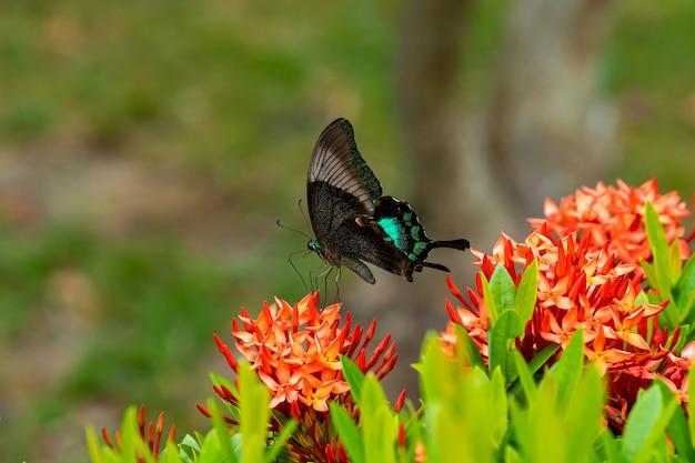 Unglaublich schöner tag tropischer schmetterling papilio maackii bestäubt blumen. schwarzgrüner schmetterling trinkt nektar aus blumen