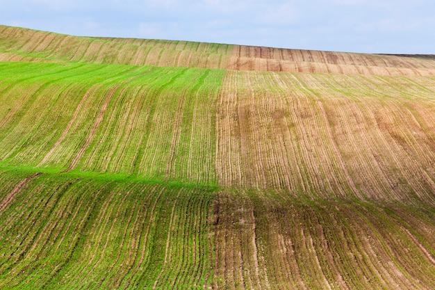 Ungleichmäßiges wellengebiet des landwirtschaftlichen feldes, auf dem eine neue getreideernte, eine herbstlandschaft, auf einer hälfte der pflanze wächst, um früher zu wachsen und eine größere größe zu haben