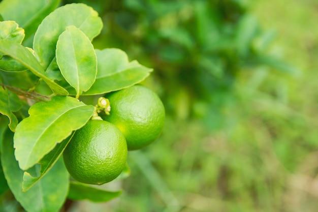 Unreife grüne limette, die an einem lindenbaum hängt