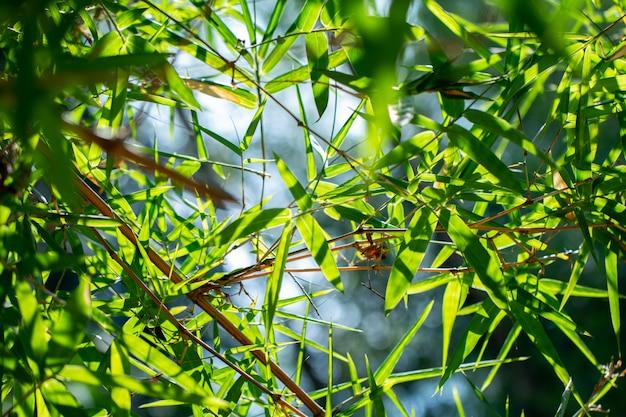 Unscharfe natürliche bambusblätter im bambuswald von unterhalb der ansichten entwerfen für grünen hintergrund