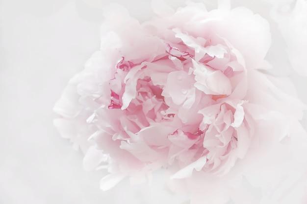 Unscharfe rosa pfingstrosenblüten nahaufnahme weichzeichnung. zarter pastellhintergrund
