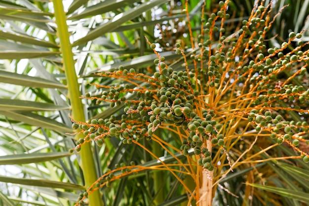 Unter dem baum einer kokosnuss cocos nucifera zeigt einen strauß wunderschöner kokosnussblüten