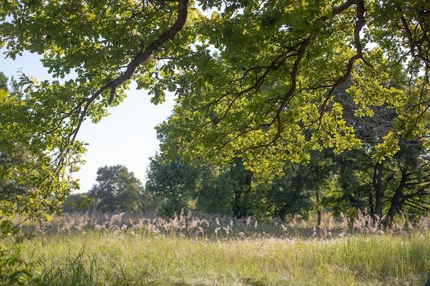 Unter den grünen eichenblättern in der morgensonne