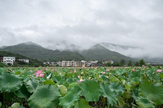 Unter den nebligen gipfeln gibt es bauernhäuser, wolken und blühende lotusblumen im lotusteich