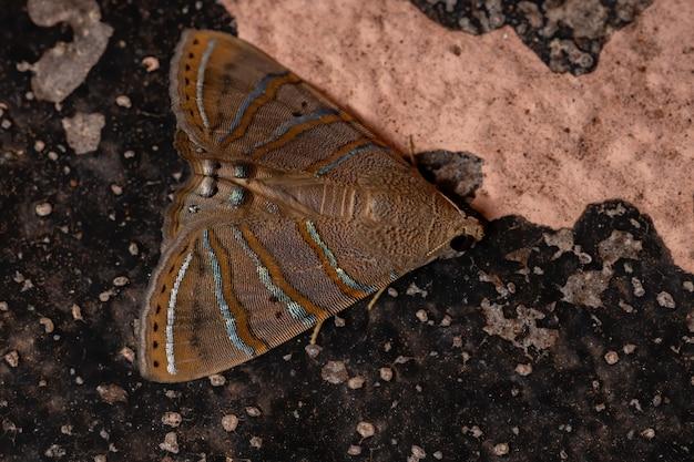 Unterflügelmotte der art eulepidotis caeruleilinea