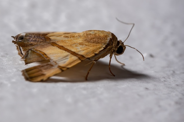 Unterflügelmotte der art eulepidotis juncida