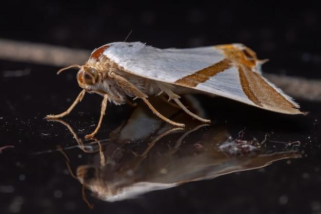 Unterflügelmotte der art eulepidotis rectimargo