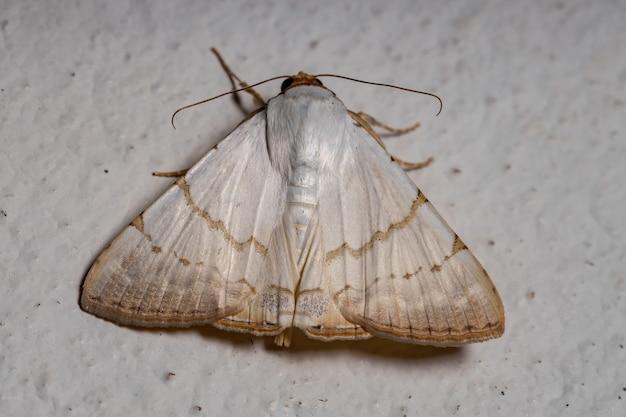 Unterflügelmotte der gattung eulepidotis