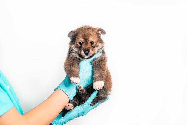Untersuchung eines mischlingswelpen bei einem tierarzt in einer tierklinik. inspektion eines haustieres, eines lustigen kleinen hundes in den armen eines mädchens. platz kopieren