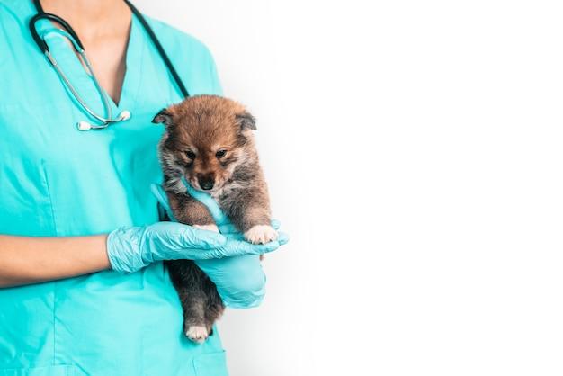Untersuchung eines mischlingswelpen bei einem tierarzt in einer tierklinik. untersuchung eines haustieres, eines lustigen kleinen hundes in den armen eines mädchens
