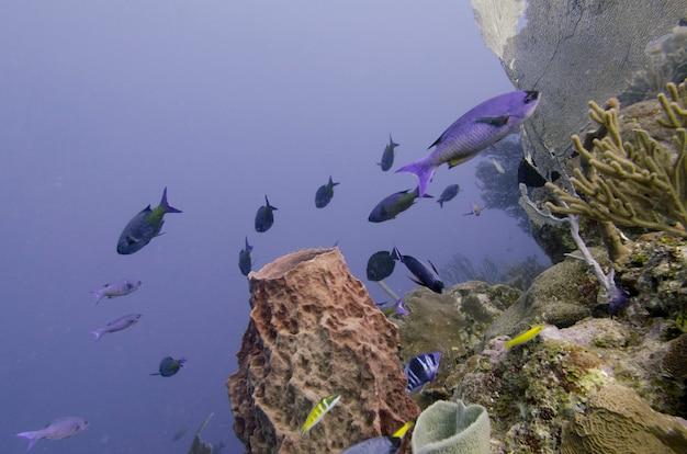 Unterwasseransicht der schule des kreolischen wrasse (clepticus parrae) fischt auf korallenriff, utila, bucht islan
