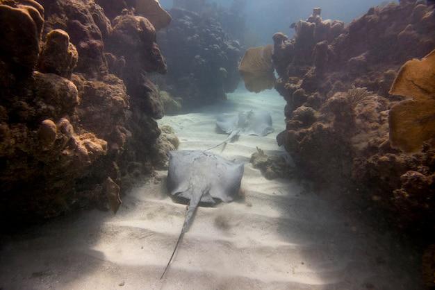 Unterwasseransicht eines karibischen whiptail-stechrochens (himantura-schmardae), utila, bucht-inseln, honduras
