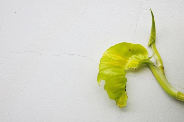 Unvollständiges goldenes pothosblatt auf der weißen sprungwand