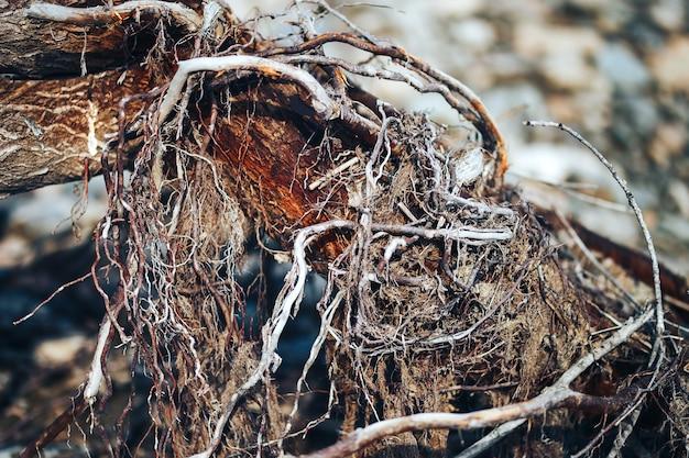 Ursprung des lebens. knospen auf einer trockenen baumbasis des sonnigen frühlingstages des baums