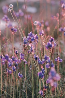 Utricularia delphinioides ist eine insektenfressende pflanze der familie wong suoi wanna. krautige pflanze die blüten sind dunkelviolett.