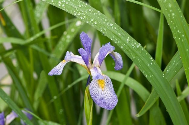 Vadnais heights, minnesota, john h. allison forest, iris mit blauer flagge im regen.