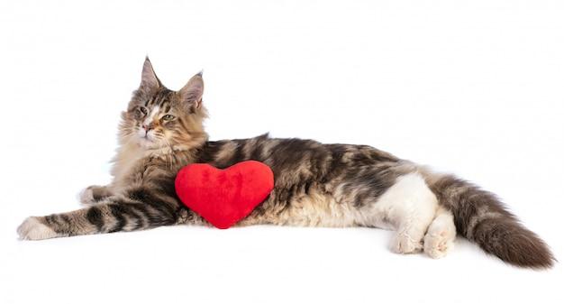 Valentinstag junge maine coon