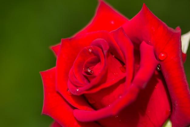 Valentinstaghintergrund mit roten rosen