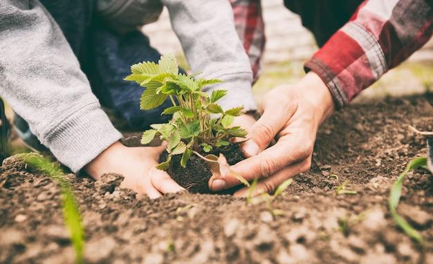 Vater hilft seinem sohn, erdbeere in den boden zu verpflanzen