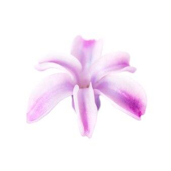Veilchenblume des frühlinges lokalisiert auf weißem hintergrund. studio-makroaufnahme