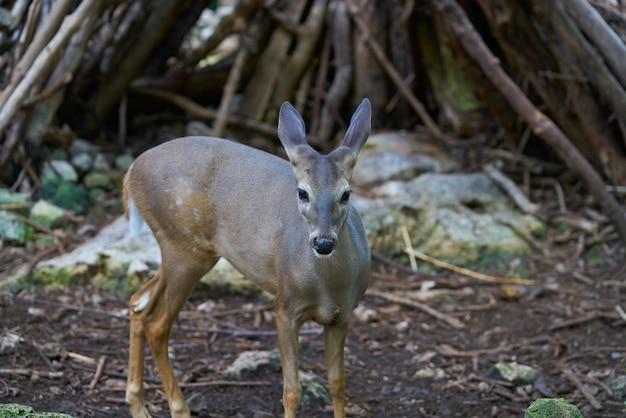 Venado-rotwild in riviera maya mexico