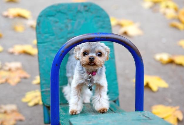 Verängstigter yorkshire terrier welpe 1 jahr alt, mit einem haarschnitt, auf einer hellen kinderschaukel, in einem herbstpark zwischen gelben blättern