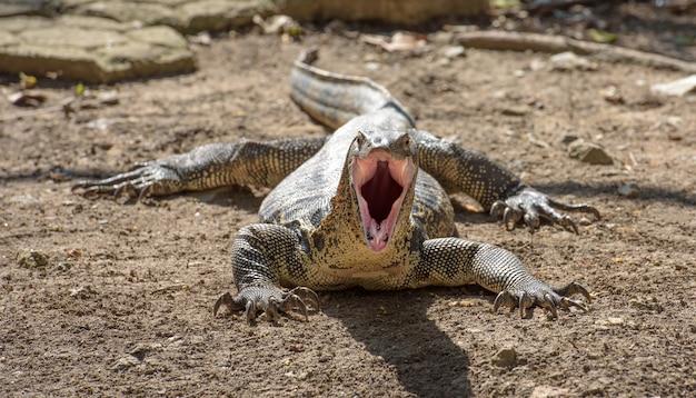 Verärgerter asiatischer wassermonitor (große eidechse) öffnet seinen mund als angriff