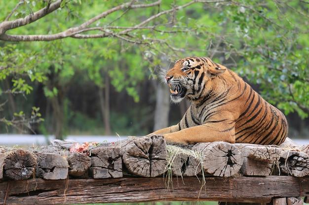 Verärgerter bengal tiger, der auf einem hölzernen anmeldungszoo liegt.