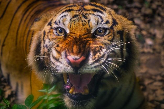 Verärgerter sumatra-tiger sumatra-tigergesicht