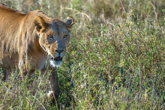 Verärgerter weiblicher löwe, der beute in einem grasfeld in der wildnis sucht