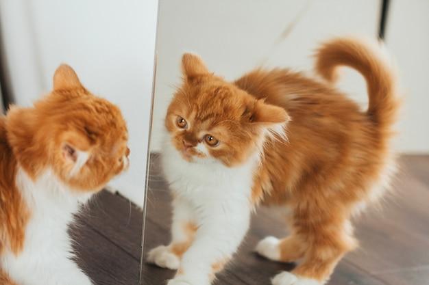 Verärgertes ingwerkätzchen am spiegel. das kätzchen schaut in den spiegel.