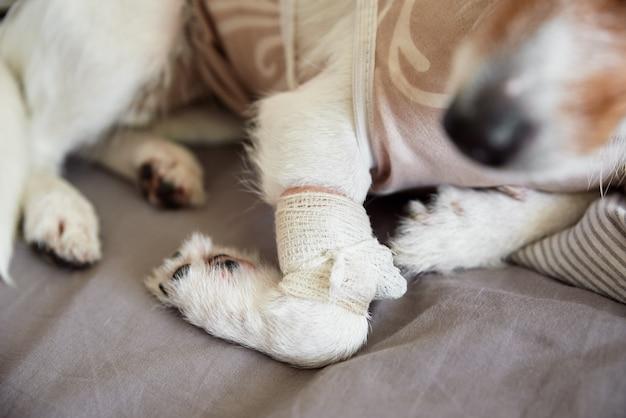 Verband auf hundepfoten-haustierpflege jack russell terrier mit katheterrehabilitation des tieres nach der operation