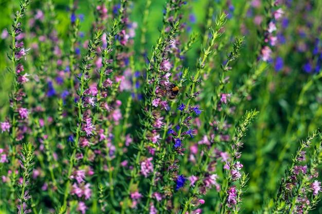 Verbena salbei ist mehrjährige pflanze. lila blume, die in der wiese auf grünem grashintergrund blüht.