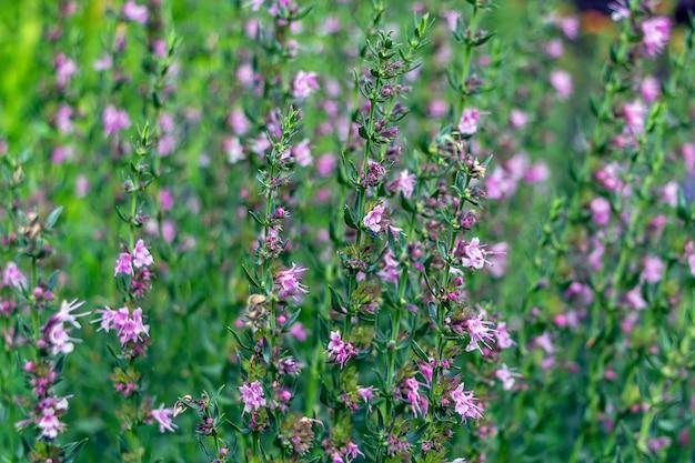 Verbena salbei (salvia verbenaca) ist mehrjährige pflanze, art der gattung salbei der familie der lippenblütler. lila blume, die in der wiese auf grünem grashintergrund blüht