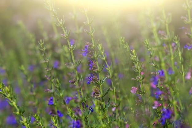 Verbena salbei (salvia verbenaca) ist mehrjährige pflanze, art der gattung salbei der familie der lippenblütler. lila blume, die in der wiese auf grünem grashintergrund blüht.