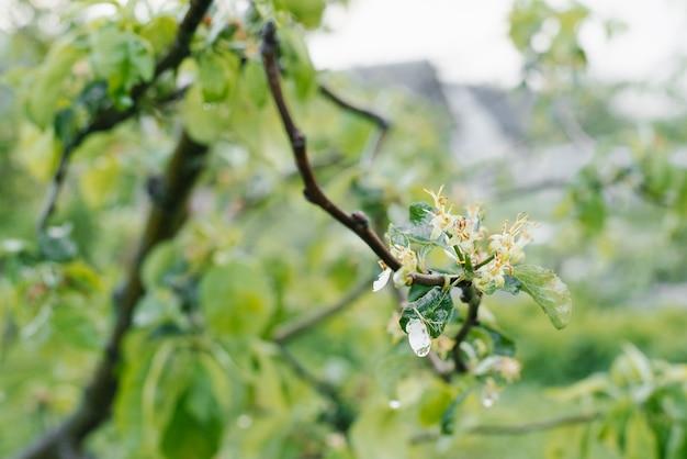 Verblasste apfelblüten auf einem ast nach dem regen