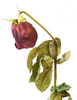 Verblaßte rose lokalisiert auf weißem hintergrund mit den blumenblättern.