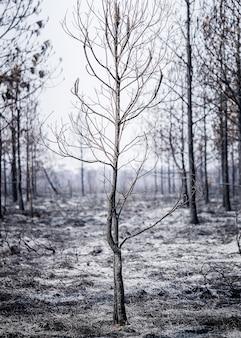 Verbrannte kiefer auf dem dramatischen traurigen konzepthintergrund der asche