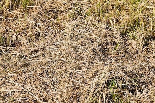 Verdunkeltes und vergilbtes gras in der natur, nahaufnahme von pflanzen